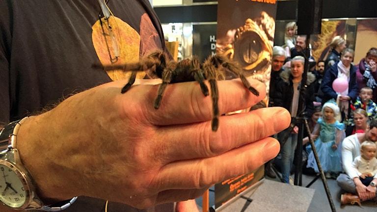 Förutom ormar och ödlor visades även spindlar upp under familjedagen på Kronprinsen i Malmö. Foto: Jenny Cederbom/Sveriges Radio