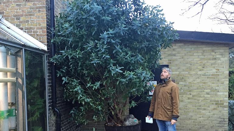 Eucalyptusträdet i Botan i Lund som söker nytt hem - här med reporter Anton Kalm. Foto: Sveriges Radio