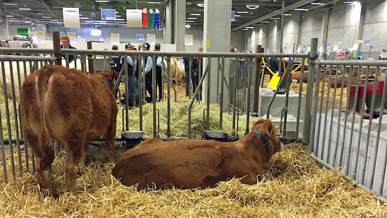 Nötkreatur som stannat kvar på lantbruksmässan Mila i Hyllie. Foto: Anton Kalm/Sveriges Radio.