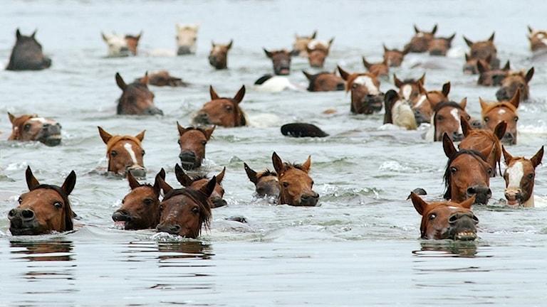 Hästar i vatten. Det är inte alla hästar som gillar sällskap.