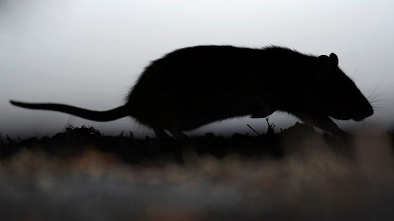 En råtta springer under en bil mitt på dagen. Foto: Fredrik Sandberg/TT