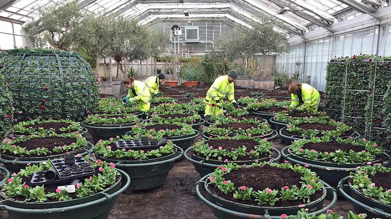 I serviceförvaltningens växthus är vårblommorna redo att planeras ut i stadens alla rabatter.