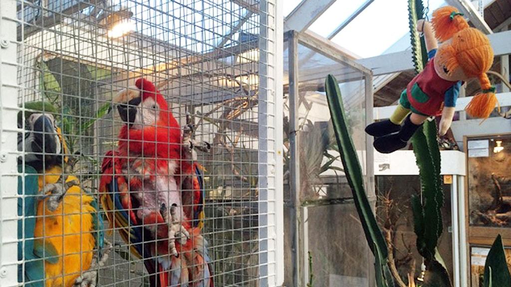 Pippis papegoja Douglas