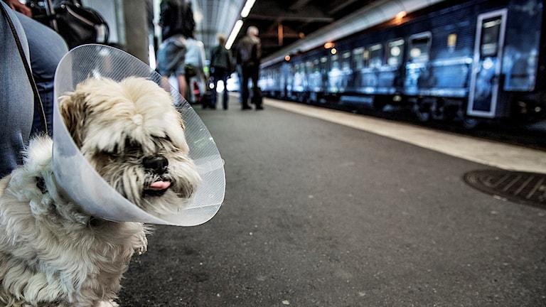 Hundar och passagerare väntar på försenade tåg. Foto: Tomas Oneborg/TT.