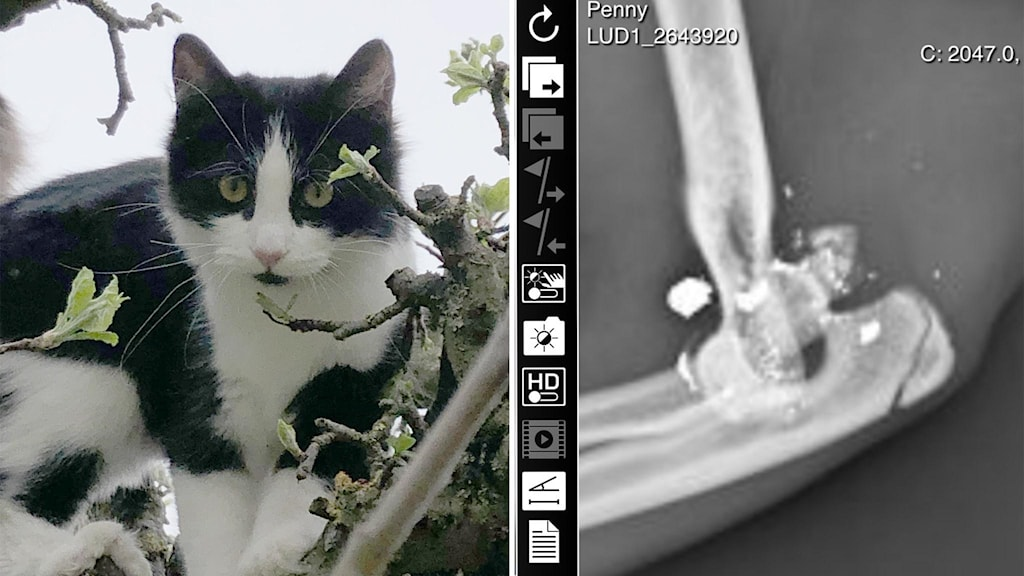 Katt och röntgenbild