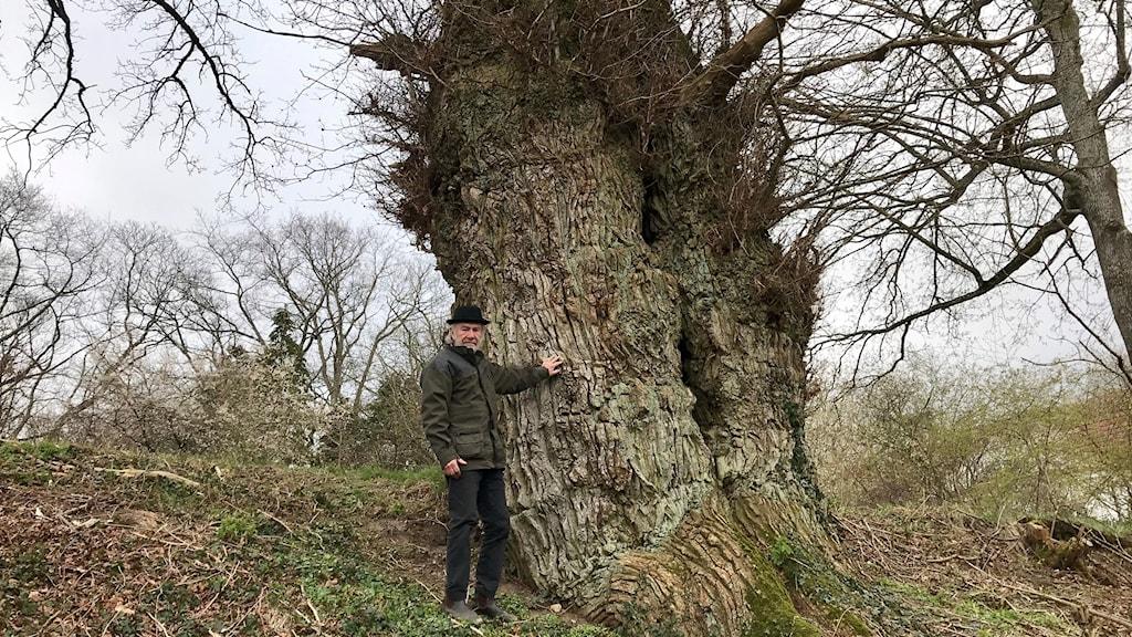 Bo Hulten visar den gamla eken i Esperöd.