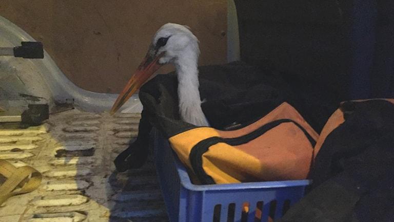 Den svenska storken ska nu äta upp sig inför sommaren.