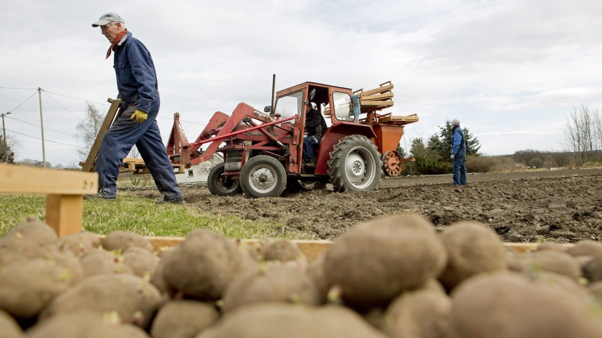 Potatissättning. Foto: Tore Meek/TT