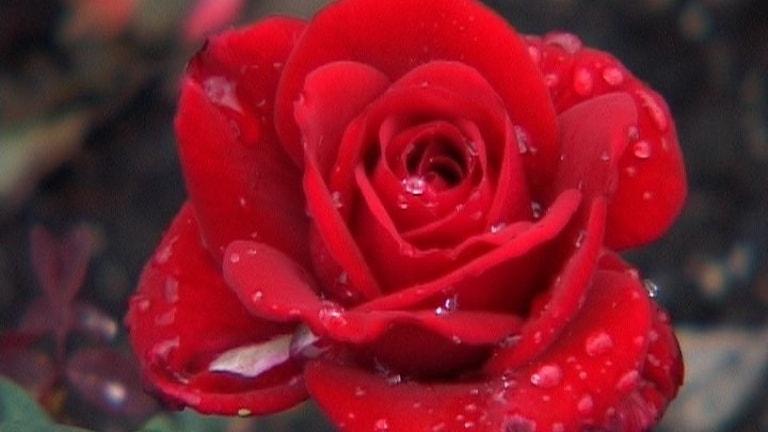Röd ros.