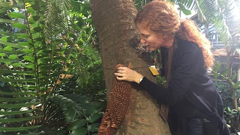 Sofie Olofsson, intendent på Botaniska i Lund visar upp kotten på Kottepalmen