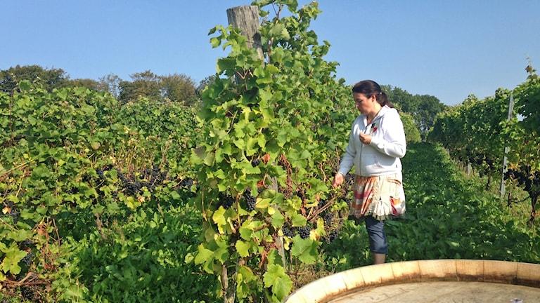 Anette Ivarsson bland vinrankorna i Arilds vingård på Kullahalvön, Sveriges största. Foto: Andreas Örwall Lovén/Sveriges Radio.