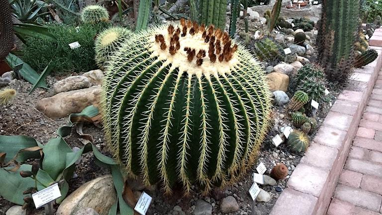 Kaktusen svärmorskudde.