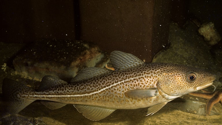Torsken är en av de fiskarna som mår sämre i varmt vatten.