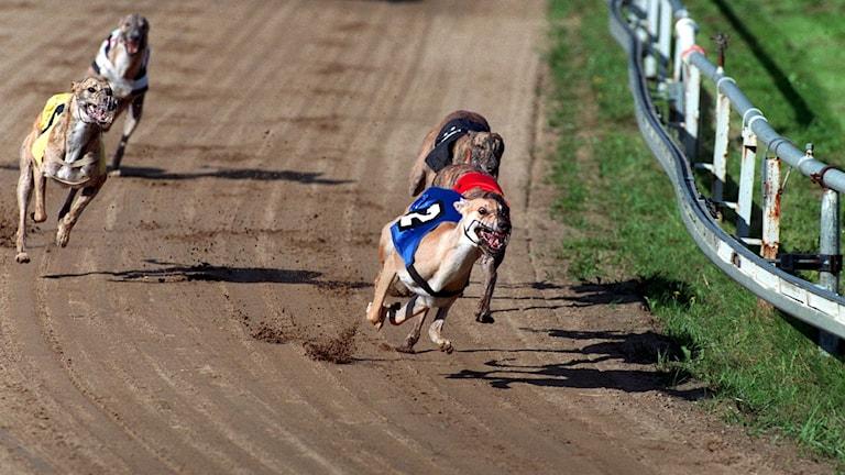 Hundkapplöpning på Greyhound Park i Åkersberga norr om Stockholm. Foto: Erich Stering/TT