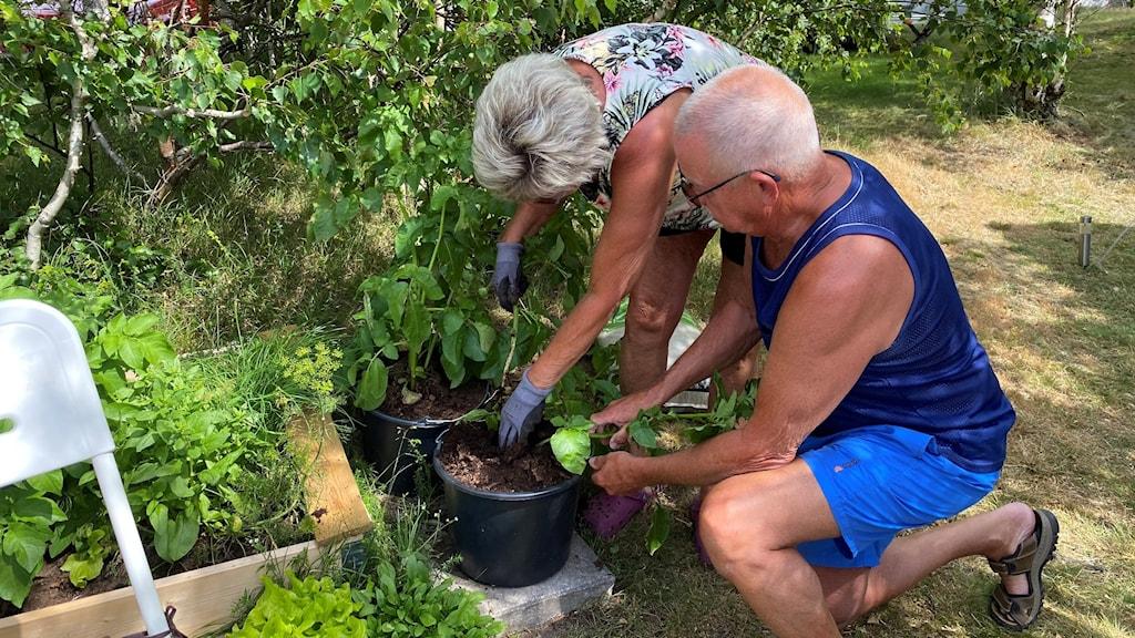 man och kvinna gräver upp potatis ur en stor kruka