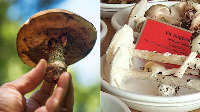 Till vänster: en tegelsopp Foto: Emil Langvad/TT till höger: Vit flugsvamp, som innehåller det giftiga ämnet amatoxin. Foto: Karin Markhede/TT