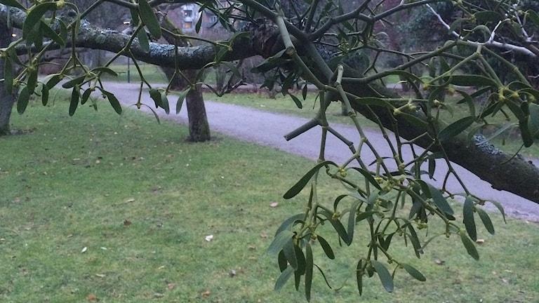 Ett mistel som suger musten ur ett träd.