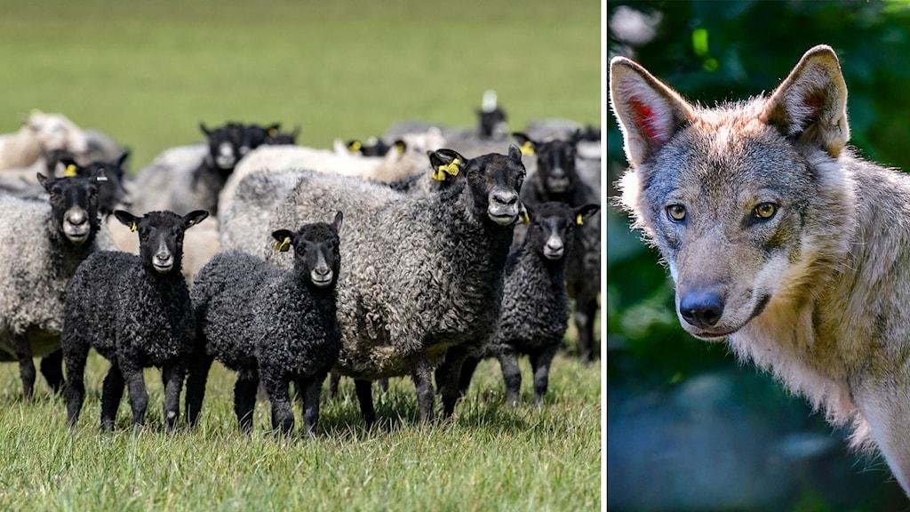 Tvådelad bild, till höger flera får i en hage, och till vänster en varg.