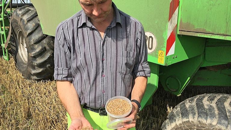 Vetet är för vått för att skördas nu, konstaterar lantbrukaren Rickard Frid med odling utanför Löberöd. Foto: Martina Greiffe/Sveriges Radio.