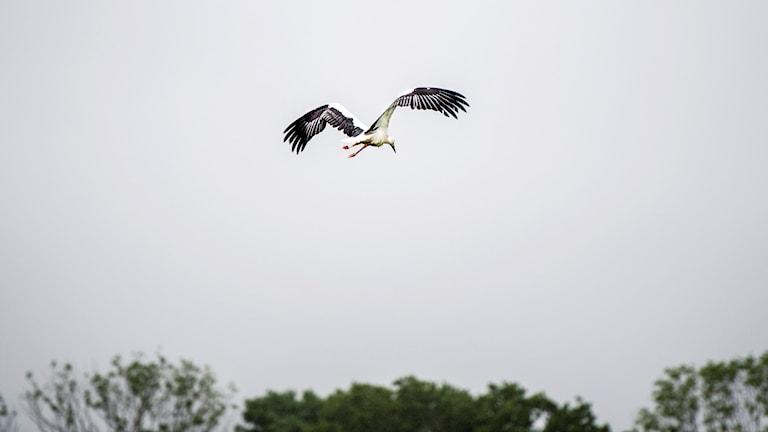 Stork flyger efter att ha släppts utanför Veberöd sommaren 2017. Foto: Emil Langvad/TT.