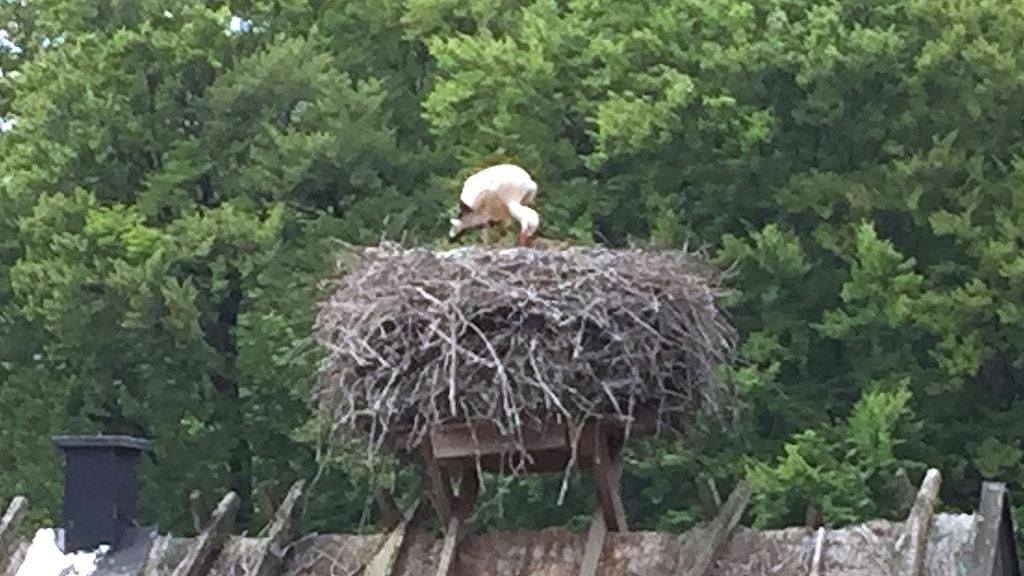Stork i bo.