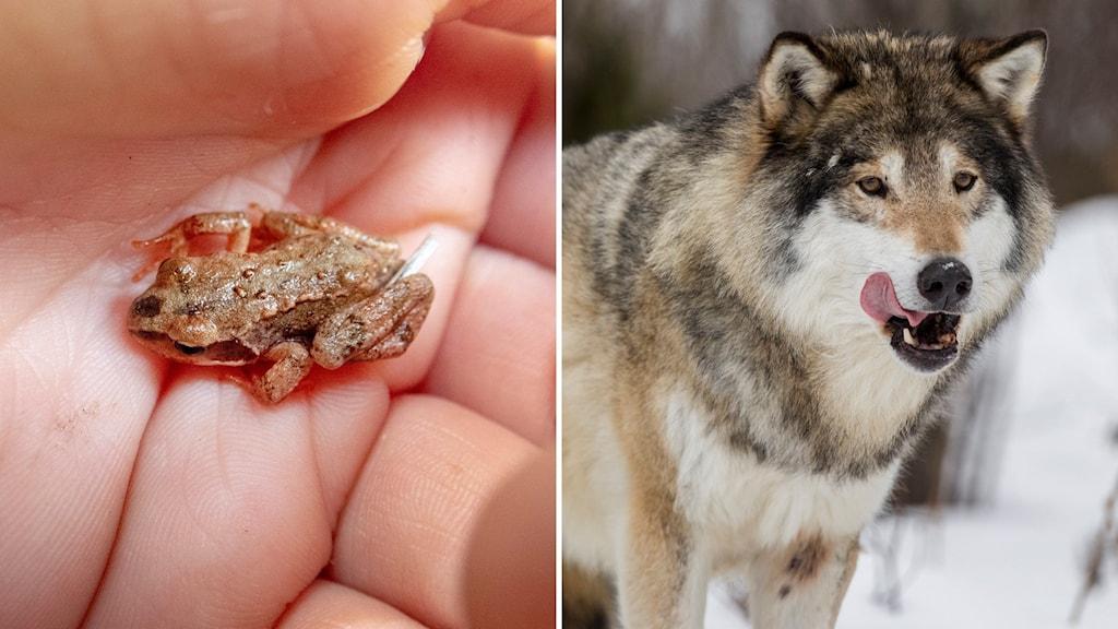 bildsplitt på en groda och en varg