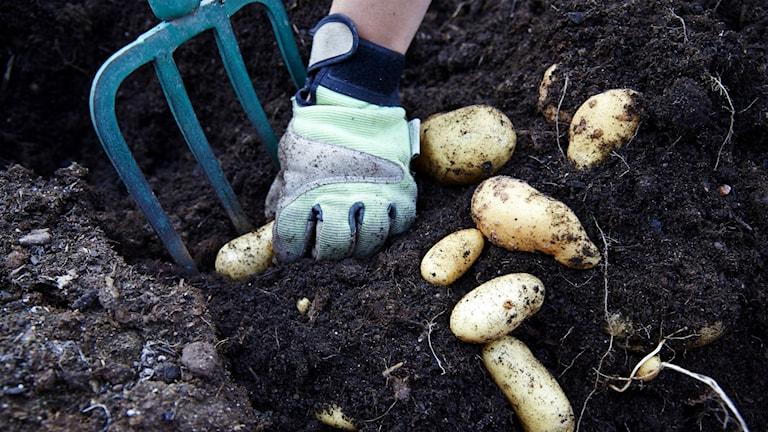 Potatis är så känslig för sjukdomar att den inte ska växa på samma plats på fyra år.