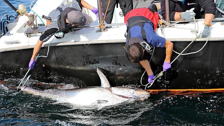 Tonfisk infångad vid fartyg.