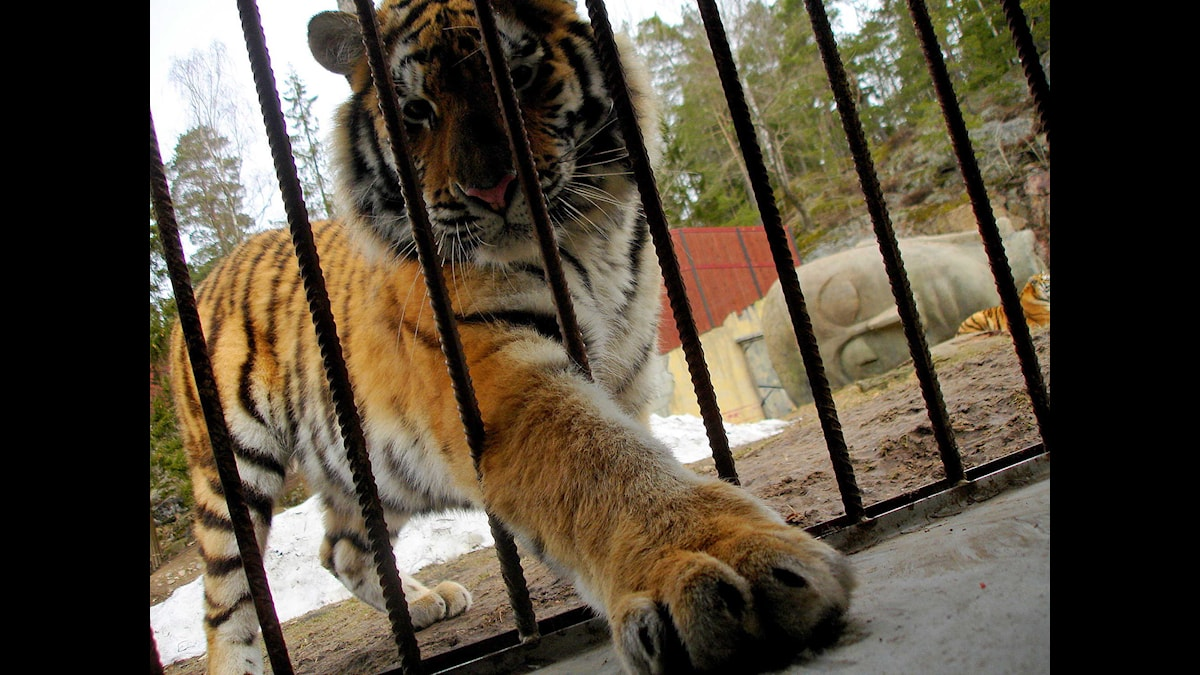 Tiger (Foto: Andreas Tosting, SR Östergötland)