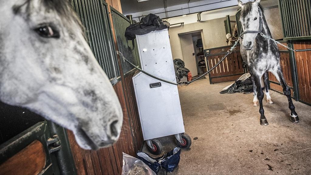Två hästar står i ett stall.