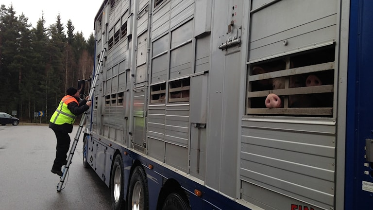 Djurskyddsinspektören Marcus Bald tittar in i en gristransport
