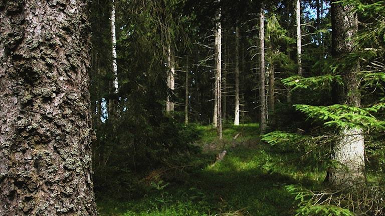 Granskog Foto: Hasse Holmberg/Scanpix