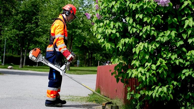 En ung man klipper gräset med en grästrimmer. Foto: Pontus Lundahl / Scanpix.
