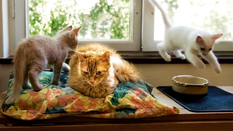 Tre katter vid ett fönster. Foto: Maja Suslin/Scanpix