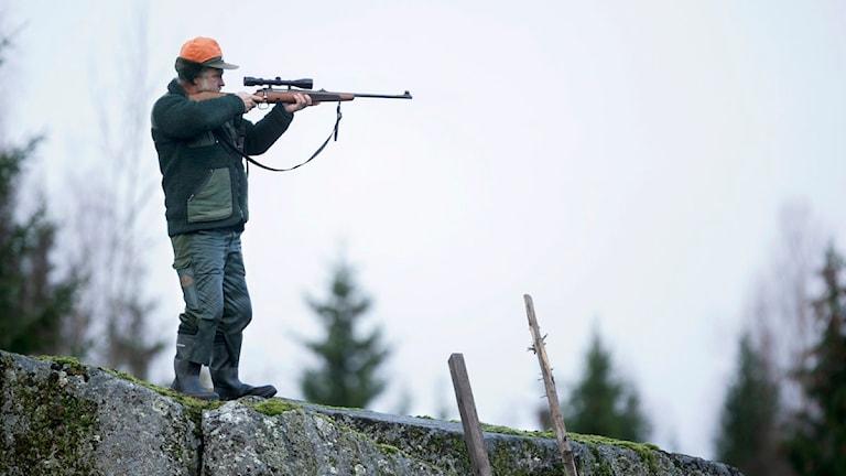 En jägare på pass siktar med sitt gevär. Foto Fredrik Sandberg / Scanpix