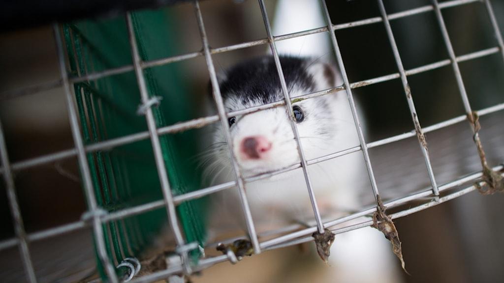 En mink i bur.