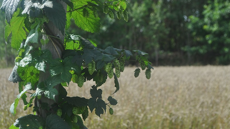 Humle kan även användas som en grönsak. Foto: Mary Chitgar / P4 Skaraborg