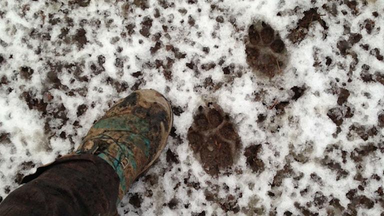 Vargspår i snö. Foto: Privat