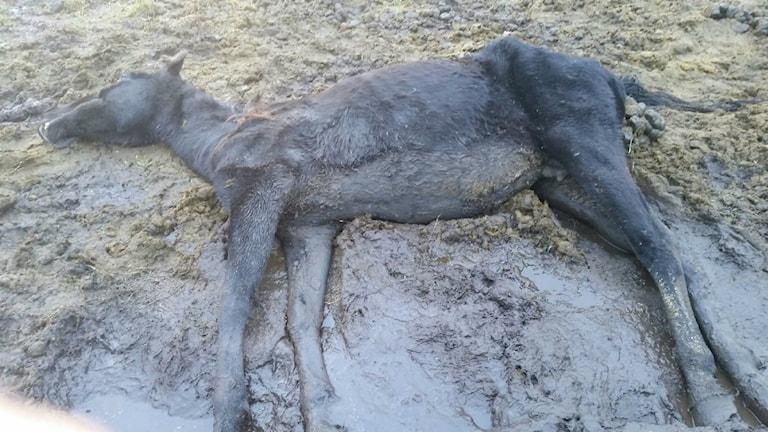 Stoet dog i hagen utanför Essunga i fredags Foto: Privat