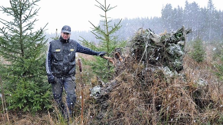 Lantbrukaren Claes Bergstrand vid en av de rotvältor som fortfarande finns kvar efter stormen Gudrun för tio år sedan. Foto: Henrik Dammberg / Sveriges Radio.