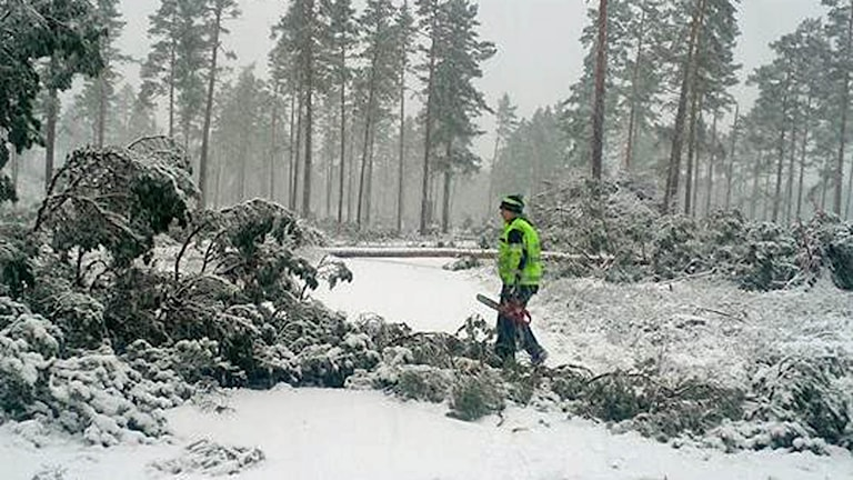 Tallar över mindre snötäckt väg. Man med motorsåg. Foto: Magnus Cedin.
