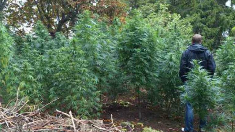 Polis hittade cannabisodling på gård i västra Skaraborg Foto: Polisen