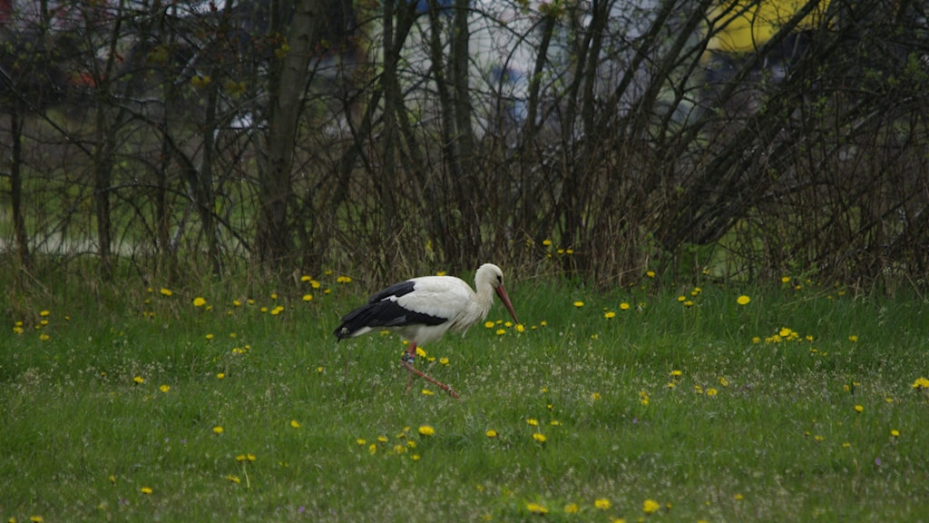Storken drog till sig en del nyfikna åskådare när den landade i Skövde Foto: Per-Olof Bengtsson