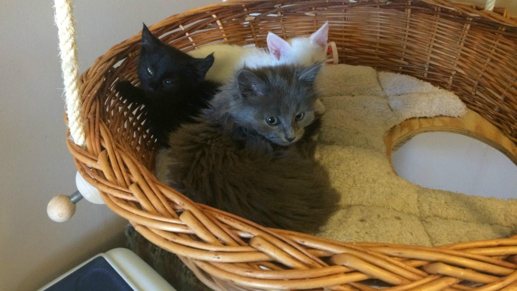 katter till salu skaraborg