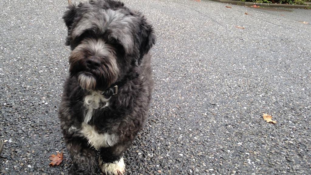 Hunden Buster i Skara utanför djursjukhuset. Foto: Jenny Josefsson P4 Skaraborg Sveriges Radio