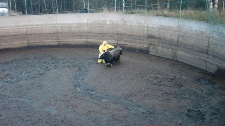 En kviga föll ned i en gödselbrunn på en gård utanför Skövde. Foto: Privat