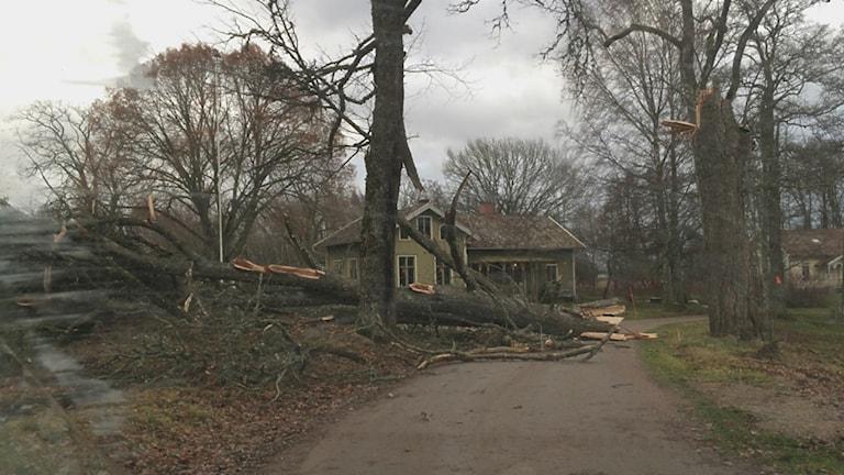 Nedfallet träd. Foto: Ida Lindh