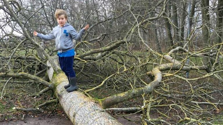 Léon på nedblåst träd. Foto: Martin Maars