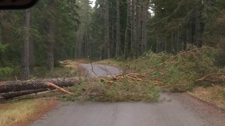 Nedfallet träd över Hökensås. Foto: Maria Annas