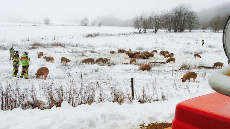 80 grisar har kommit lösa på en åker efter att en djurtransportlastbil vält. Foto: Christopher Johansson P4 Skaraborg.